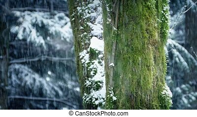 Mossy Tree Trunks With Snow Falling - Green mossy tree trunk...