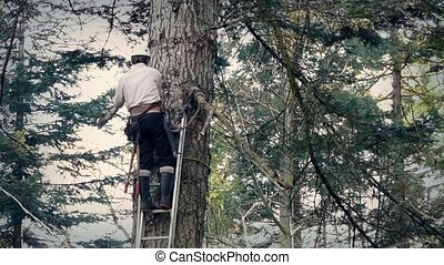 Tree Surgeon Working Up Ladder - Man up ladder sawing off...