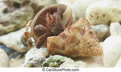 Hermit crab on the beach - Big Hermit crab explores shell...