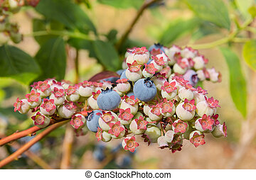 ripe and unripe blueberries on blueberry bush - closeup of...