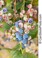 blueberries ripening on blueberry bush - closeup of...