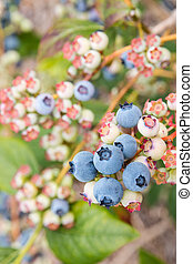 closeup of ripe blueberries on blueberry bush - closeup of...