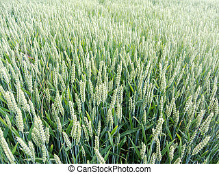Young green plants on a field - Photo picture of Young green...