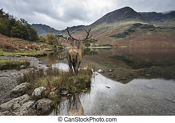 Stunning powerful red deer stag looks out across lake towards mountain landscape in Autumn scene
