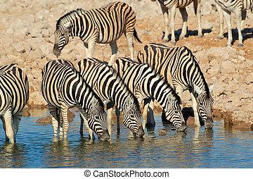 Plains zebras drinking water - Plains zebras (Equus...