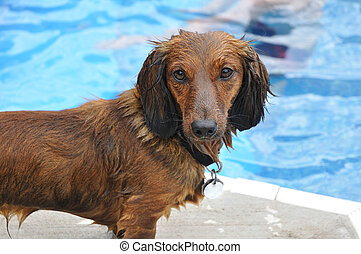 Wet Red Long-Haired Dachshund by a Swimming Pool