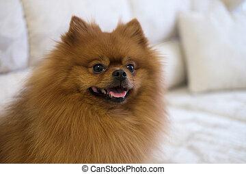 Pomeranian Spitz on a sofa