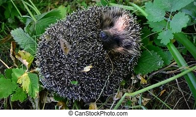 European hedgehog unrolls from a ball - European hedgehog...