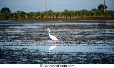 Great egret or white heron, standing in a lake - Great egret...