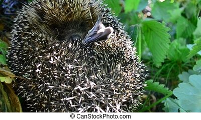 Hedgehog curled in the grass sniffing air in natural...