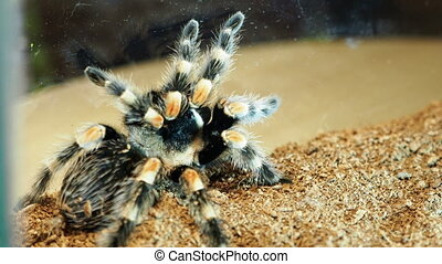 Close-up of a tarantula spider. Dangerous insect in a special aquarium.