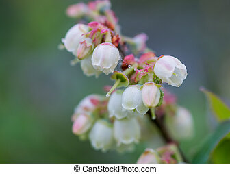 Blueberry Flowers and Dewy Spider Web