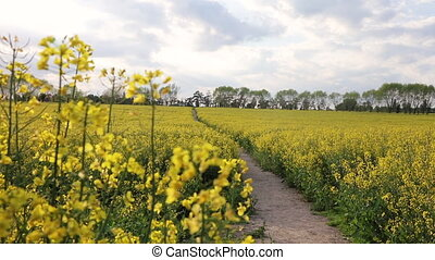 Beautiful happy mixed race African American girl teenager female young woman hiking with red backpack in field of rape seed yellow flowers