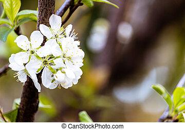 The Flowering tree - Flowering tree in spring
