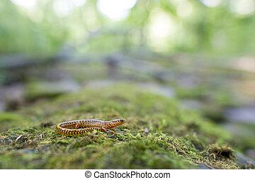 Long Tailed Salamander - A Long Tailed Salamander sits on a...