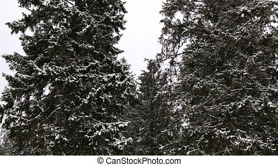 Snow falls in the fir forest. Winter time in forest