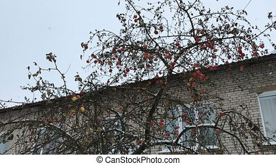 Ripe apples on branches of a tree in winter