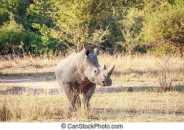 White rhino starring at the camera. - White rhino starring...