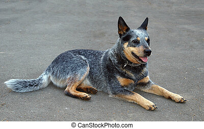 Australian Cattle Dog - Australlian Cattle Dog Lying on Grey...