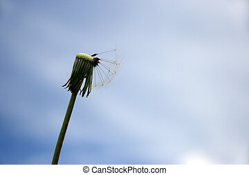 Beautiful dandelion on blue sky background