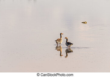 Two greylag geese standing in shallow water, reflection -...