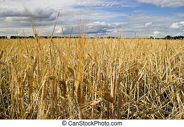Wheat field golden and blue sky