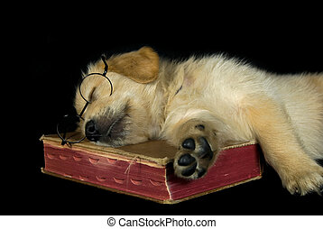 Golden pup on book - Golden retriever napping on an old...