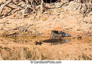 Caiman floating on Pantanal, Brazil - Caiman floating on the...