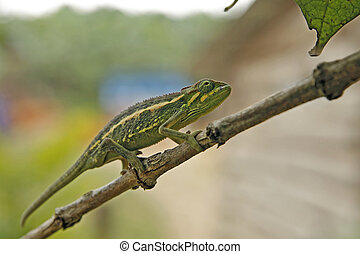 Chameleon - Flap-necked Chameleon (Chamaeleo dilepis) on a...