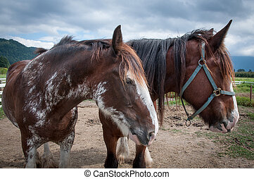 Two work horses at the farm - Two big horses at the farm,...
