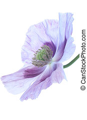 poppy - Studio Shot of Blue and Lilac Colored Opium Poppy...