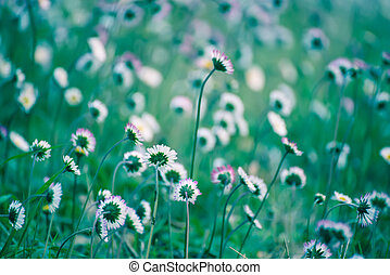 Spring marguerite flower - Spring marguerite daisy flower in...