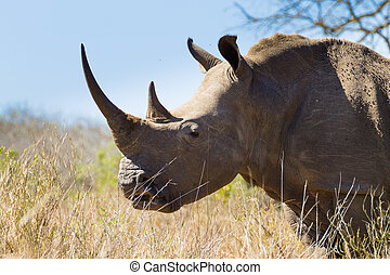 Isolated rhinoceros close up, South Africa - Isolated...