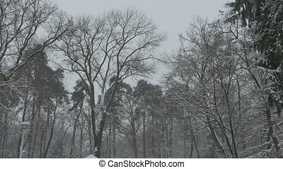Tall Trees Snowing - View of tall trees in the forest during...