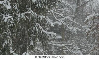 Snowing Fir Trees - Close up shot of a fir tree branch...