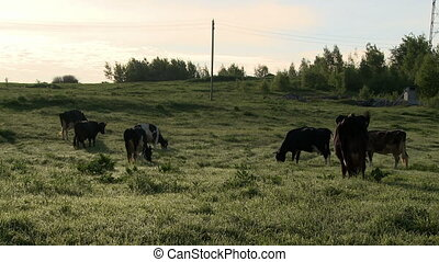 Herd of dairy cows grazing in meadow at farm