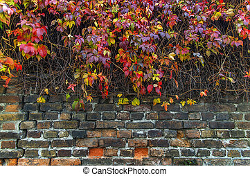 Red and yellow ivy creeper on house brick fence wall