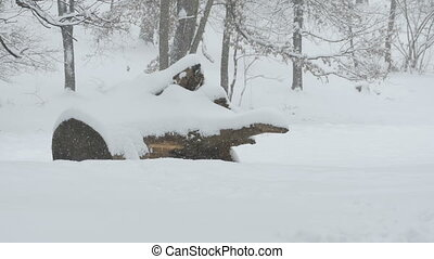 Snowing Trunk and Forest - Snowfall in the forest covering...
