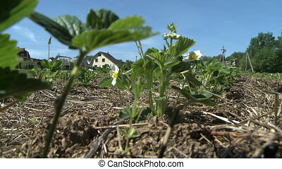 Strawberry plants growing in farm garden in spring - Young...