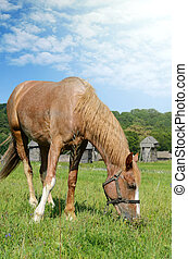 Brown horse feeding on a summer greenfield. Rustic scene...