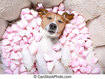 dog love rose valentines - Jack russell dog sleeping while...