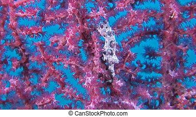 Pink Pygmy seahorse on gorgonian coral.