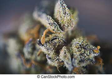 Cannabis bud detail (girl scout cookie haze marijuana...