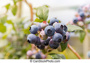 organic blueberries on blueberry bush - isolated organic...