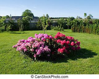 Flowers corne islandr in a garden - Flowers and plants...