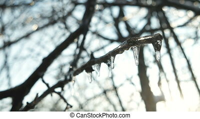 Frozen water on tree branches. Icicles after winter rain.