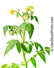 young seedling of fresh green tomatoes fruit and flowers is...