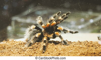 Close-up of a tarantula spider. Dangerous insect in a special terrarium.