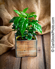 coffee plant treeon sackcloth, wooden background