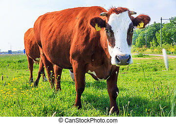 Curious red brown cow - Beautiful brown-red and white marked...
